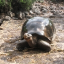Galapagos Tortoises